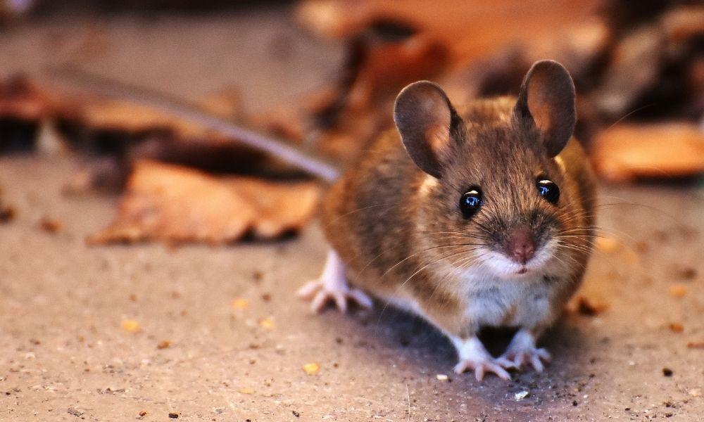 Aplikasi Pengusir Tikus Terbaik Dan Pasti Bermanfaat