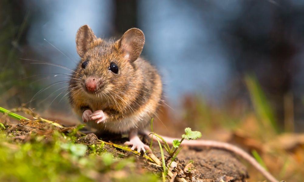 10 Aplikasi Pengusir Tikus Terbaik dan Pasti Bermanfaat